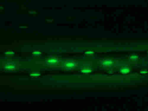 A muscle fiber from the mice showing nuclei
