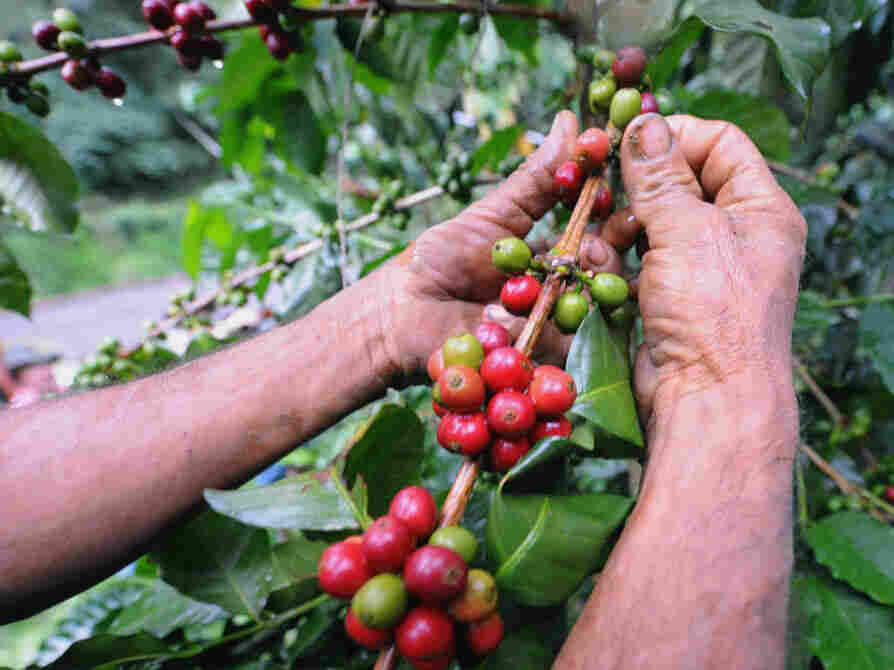 A farmer collects coffee seeds in a plan