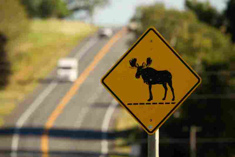 Maine state Rep. John Martin suggests that drivers travel down the middle of the road at night to allow more time to spot moose. Some nights there can be three to four moose-related accidents, he says.