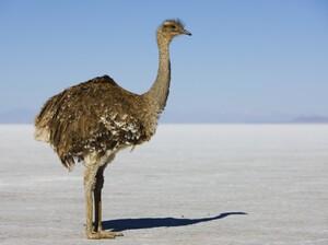 Darwin's rhea standing on salt flat