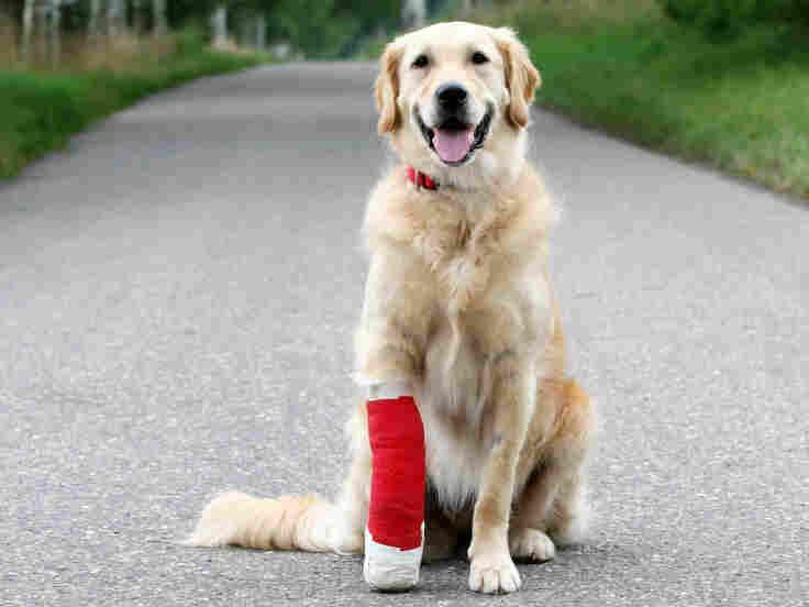 Golden retriever with broken leg sits in road.