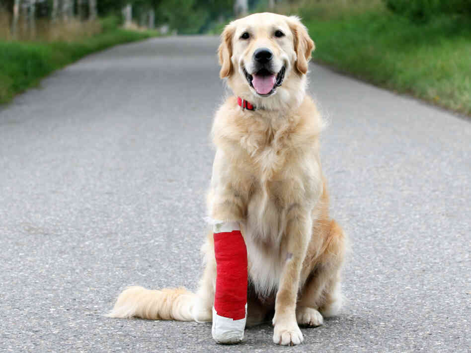 Golden retriever with broken leg sits in road.