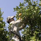 A migrant worker picks oranges.