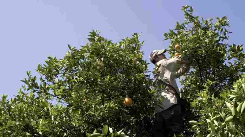 I-95 A 'Trap' For Migrant Fruit Pickers