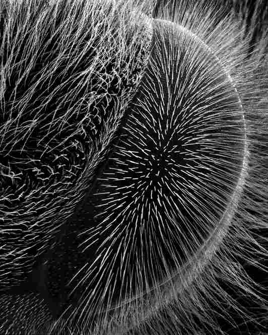 hairy eye 70xHairy eyes are only found among a few of the twenty thousand species of bees.