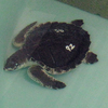 A leatherback turtle in a recovery tank at Mote Marine Laboratory.