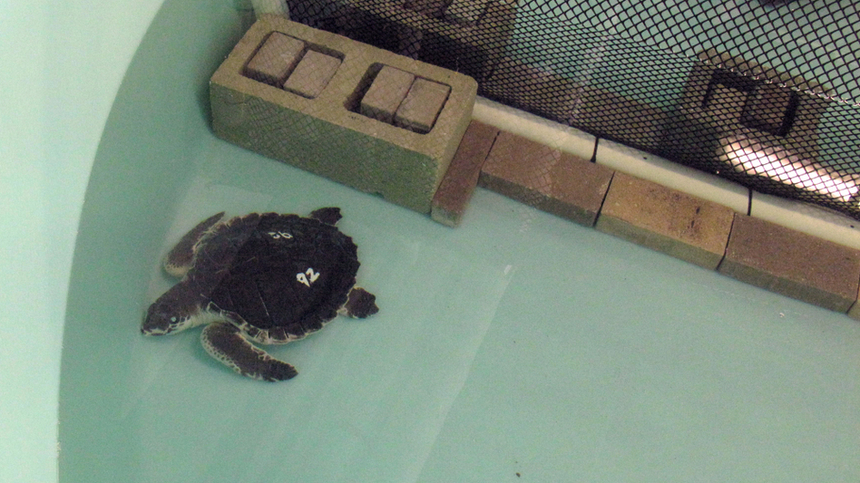 Mote Marine Laboratory in Sarasota, Fla., took in many animals that were displaced or oiled by the oil spill in the Gulf of Mexico. Above, a Kemp's ridley turtle recovers in a tank at Mote.