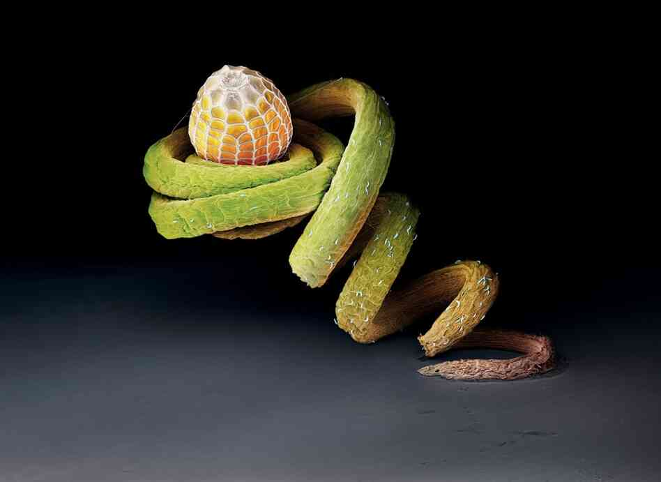 The egg of a Julia heliconian butterfly rests on the tendril of a Passiflora plant. This species lays its eggs almost exclusively on this plant.
