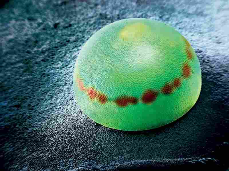 Inside this egg is a blue morpho, one of the world's largest butterflies, with a wingspan of 5 to 8 inches. The red band results from a chemical reaction after fertilization.