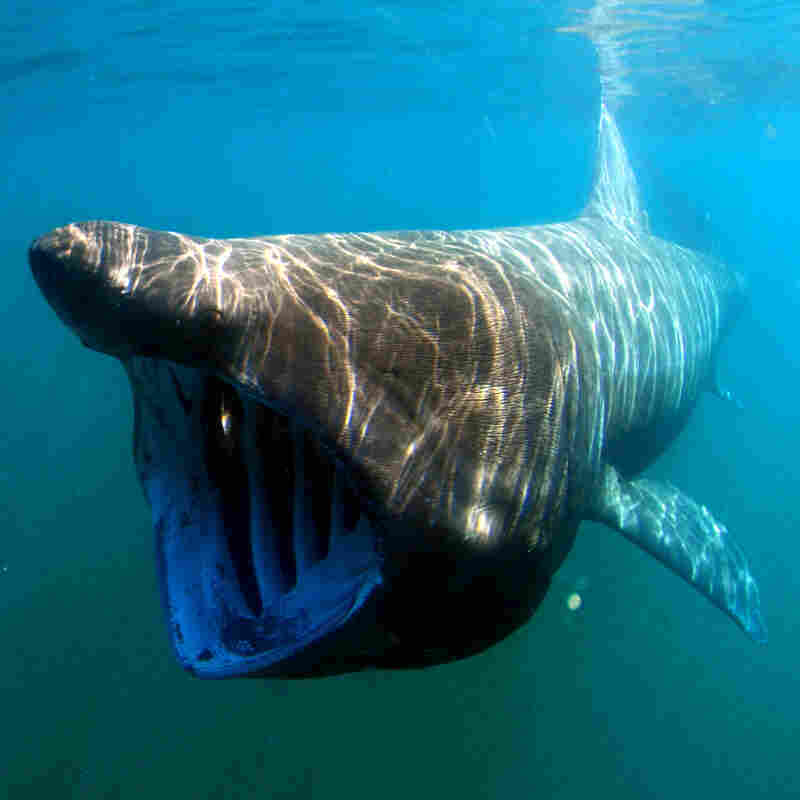Giant Sharks Swim Onto Species Watch List