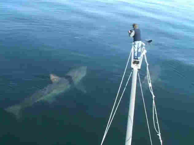 Basking Shark Tagging