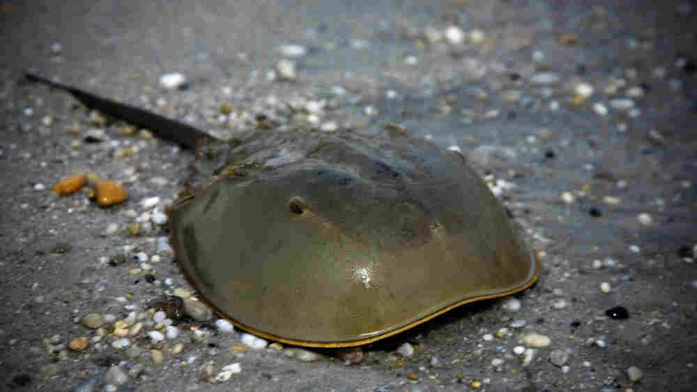 A horseshoe crab.