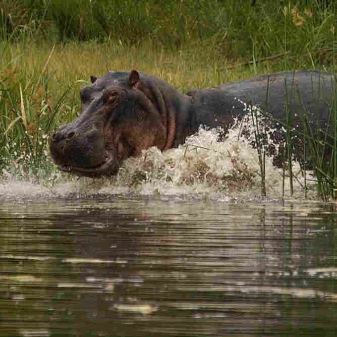 A hippopotamus wades into the waters of the Nile in Uganda.