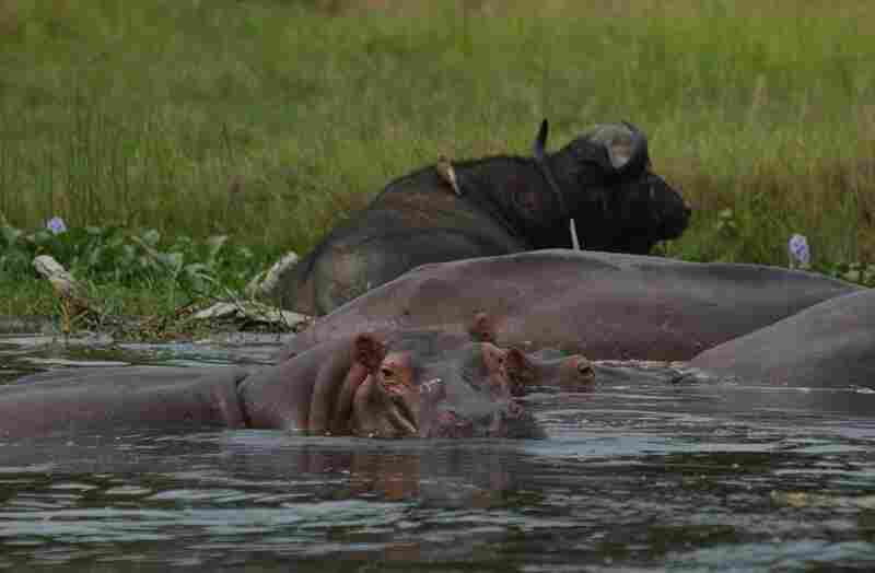 Dangers abound along the river. Hippos and crocodiles dogged the 19th century expeditions, as did mosquitoes, tsetse flies and bedbugs. They are still a menace — the flies cause sleeping sickness, and crocodiles are known to steal children who've been sent to the river to draw water.