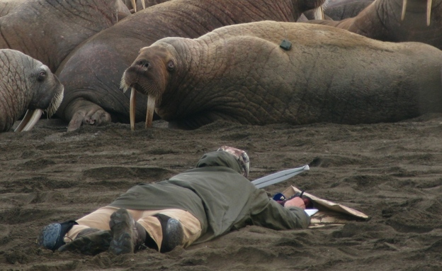 Wildlife biologist Tony Fischbach observes a tagged walrus near Point Lay, Alaska