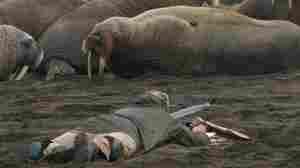 Wildlife biologist Tony Fischbach observes a tagged walrus near Point Lay, Alaska