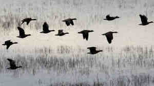 Geese take off from the wetlands of Baskett Slough National Wildlife Refuge outside of Salem, Ore.,