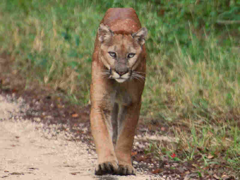 A male Florida panther walks down Jane's Scenic Drive in Fakahatchee Strand Preserve State Park.