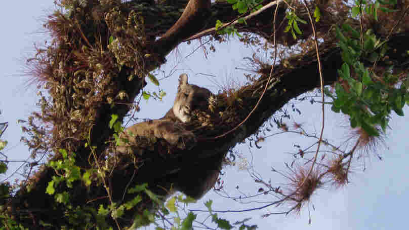 A male Florida panther in his perch in an oak tree.