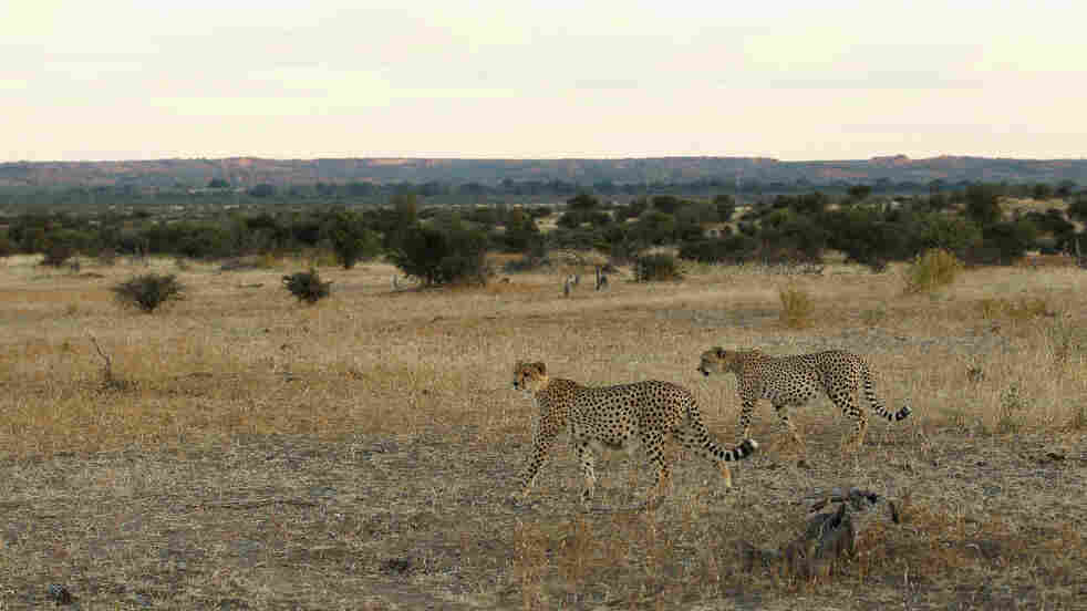 Cheetahs walk across a savan