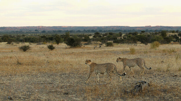 Cheetahs walk across a savannah at the Mashatu game reserve in Botswana.