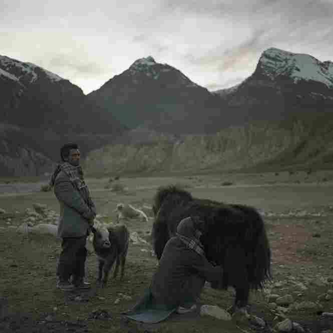 A Wakhi shepherd in the Wakhan Corridor holds a baby yak away from its mother so that she can be milked. The shepherds live in the mountains during the spring and summer with their herds, living off of milk and bread.