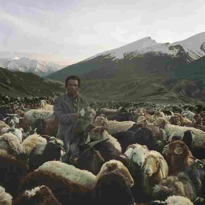 A Wakhi shepherd grabs a baby goat from its mother in a sheep and goat pen in the Pamir Mountains. The babies an