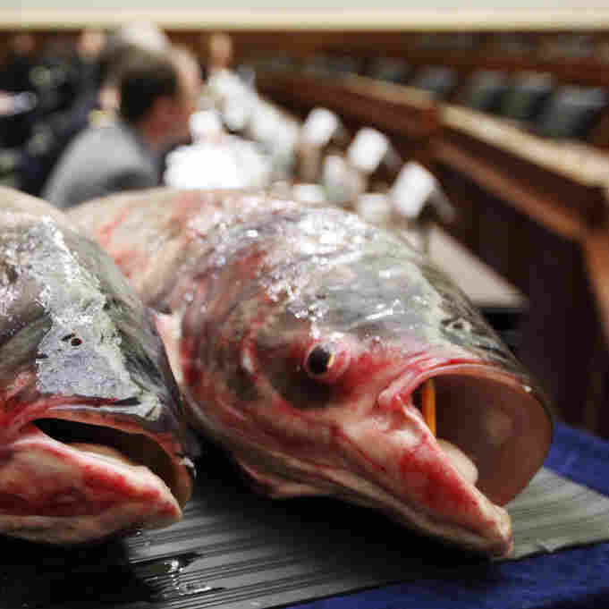 White House 'Asian Carp Czar' Outlines His Strategy For Eradicating Species