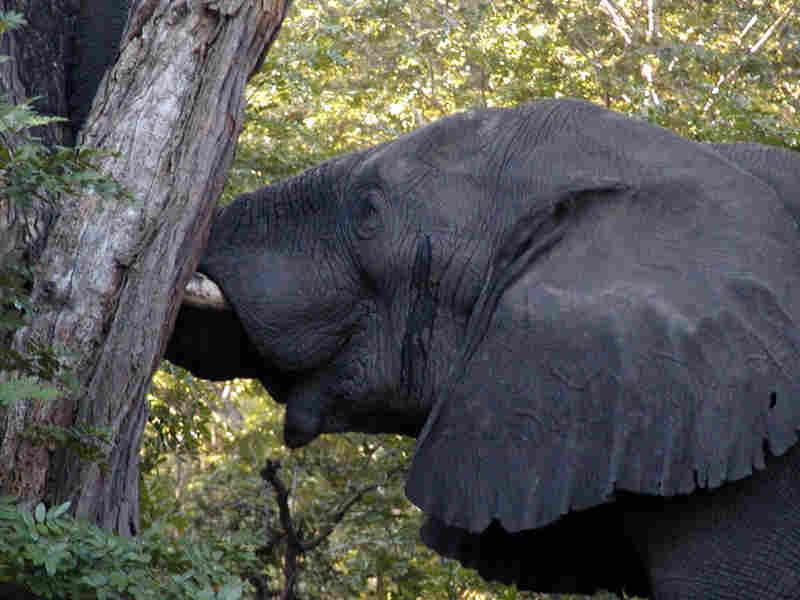 A bull elephant in Zimbabwe's Hwange National Park