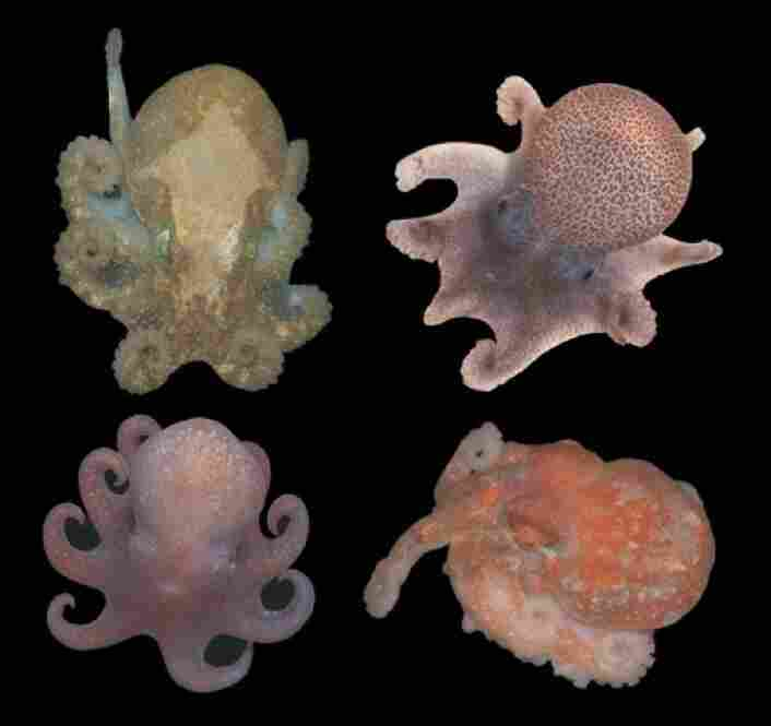 """""""These are part of a group of octopuses that really have an amazing story,"""" O'Dor explains. """"DNA has traced back 40 million years to a common ancestor in Antarctica.""""  They are juvenile representatives of the Antarctic and deep-sea genera of octopuses, smaller than a baseball in size."""
