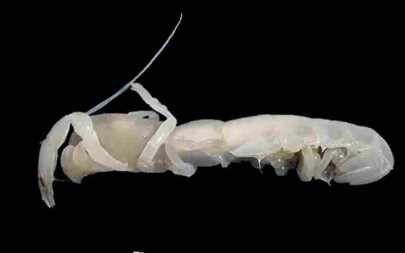 """A new ghost shrimp from Captain Arutyunov mud volcano, Gulf of Cadiz. This is not the kind of shrimp you would want to eat. """"It essentially lives in the mud and that's why it doesn't need any color,"""" O'Dor says."""