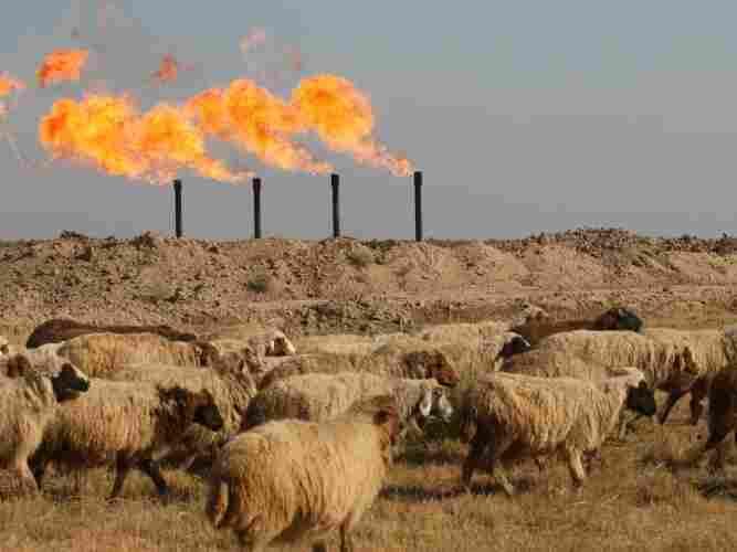Sheep graze outside an oil field in Iraq