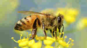 Study Links Honeybee Deaths To Fungus, Insect Virus