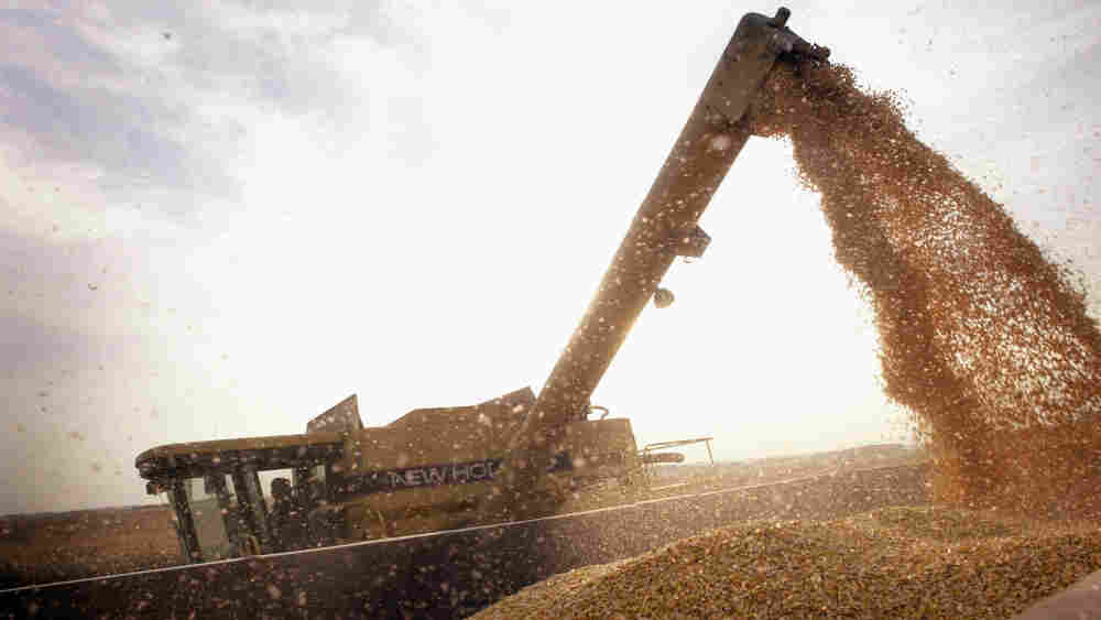 Harvesting genetically modified corn in Illinois