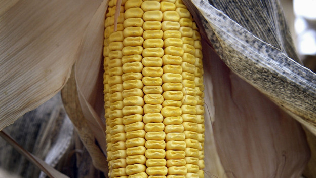 An ear of genetically modified BT-corn waits to be harvested on the farm of Gary Shedd, near Rockton, Ill., in 2003. (Getty Images)