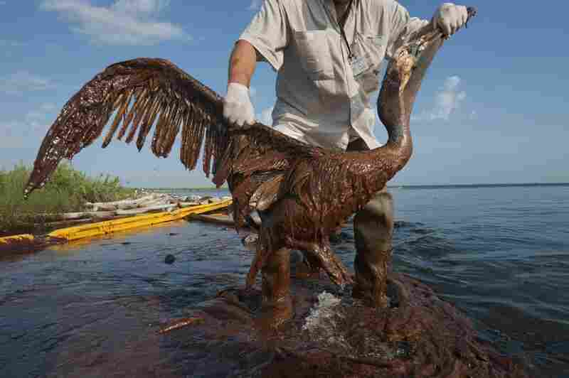 "According to the U.S. Fish and Wildlife Service, more than 5,000 birds had been found dead in the Gulf of Mexico since the oil spill, as of Oct. 3. ""You could see the life draining out of it,"" said parish official P.J. Hahn, who rescued this brown pelican. This bird lived."