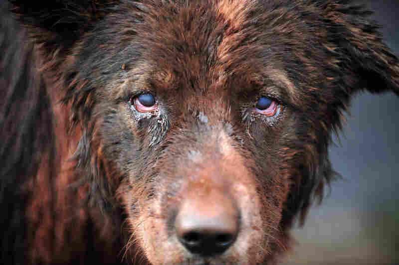 A dog is covered with mud in Devecser on Oct. 5 after the village was flooded.