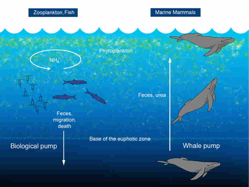 Diagram of whale dung nutrient cycling