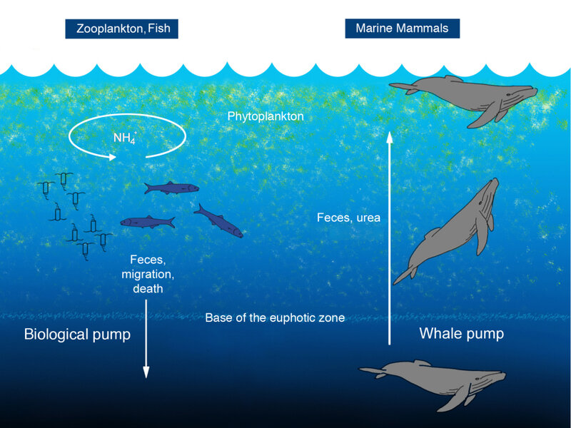 Whales Help Fertilize Ocean With Floating Dung Npr