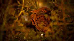 Dead rose. iStockphoto.com