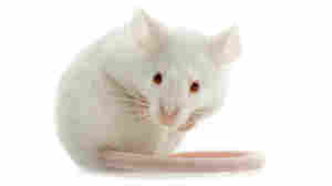 Sensory Deception: Lab Mice Can 'Smell' Light