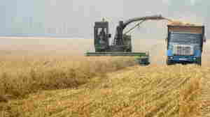 Grainy Season: Engineering Drought-Resistant Wheat