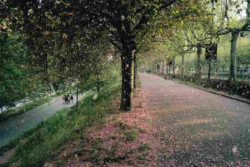 Apricot blossoms cover a path in Valentino Park, Turin, Italy