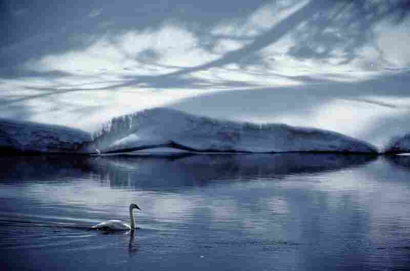 A trumpeter swan glides across Yellowstone River in Wyoming