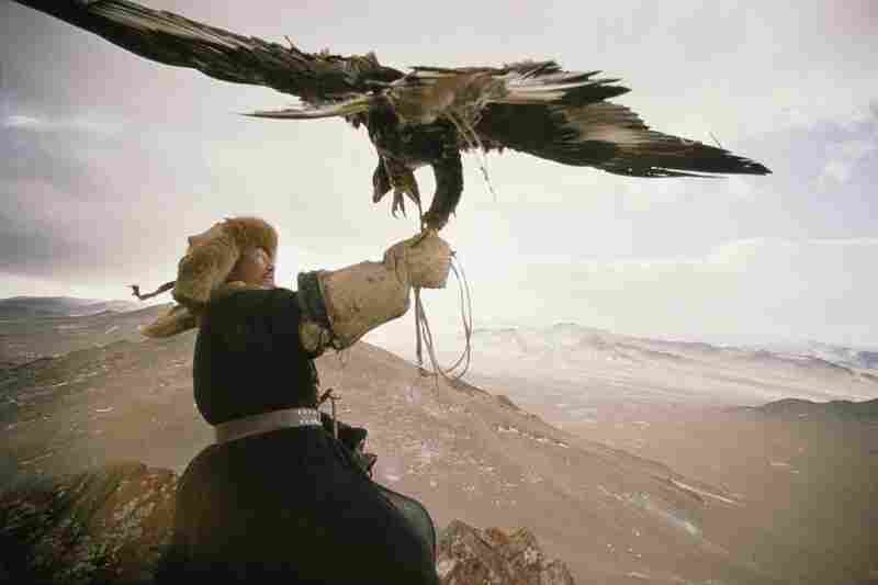 A Kazakh hunter shies slightly from a golden eagle spreading its wings, Mongolian People's Republic