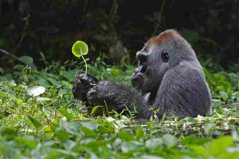 A silverback gorilla munches on water plants in a swamp, Democratic Republic of Congo