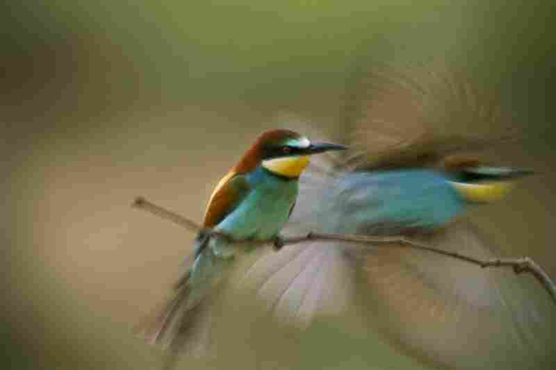 A bee-eater bird takes flight, while another stays put, Sarand, Hungary
