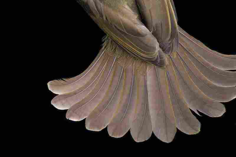Tail feathers of greenbul bird, Equatorial Guinea