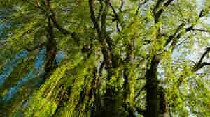 A weeping willow. Paul Giamou/iStockphoto.com