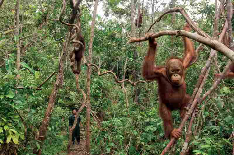 "Orangutans confiscated from circuses, sideshows and private owners in Kalimantan, Indonesia, are taken in by the Borneo Orangutan Survival Foundation as orphans. They go to ""forest school"" in the rainforest, where they can practice skills such as climbing and learn which plants are edible."
